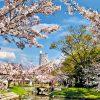 Japonia-w-czasie-hanami-10