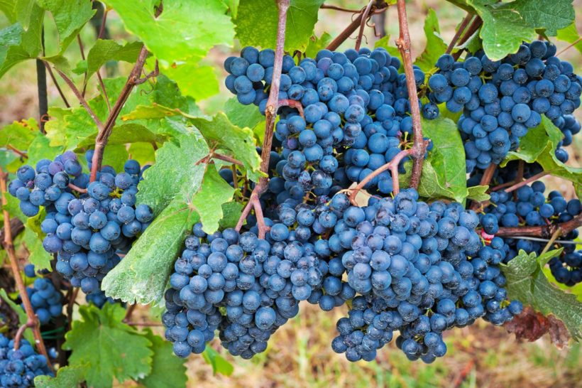 Blaue Weintrauben Macro mit Wassertropfen